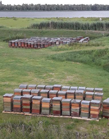 Tientallen bijenkorven in een weiland